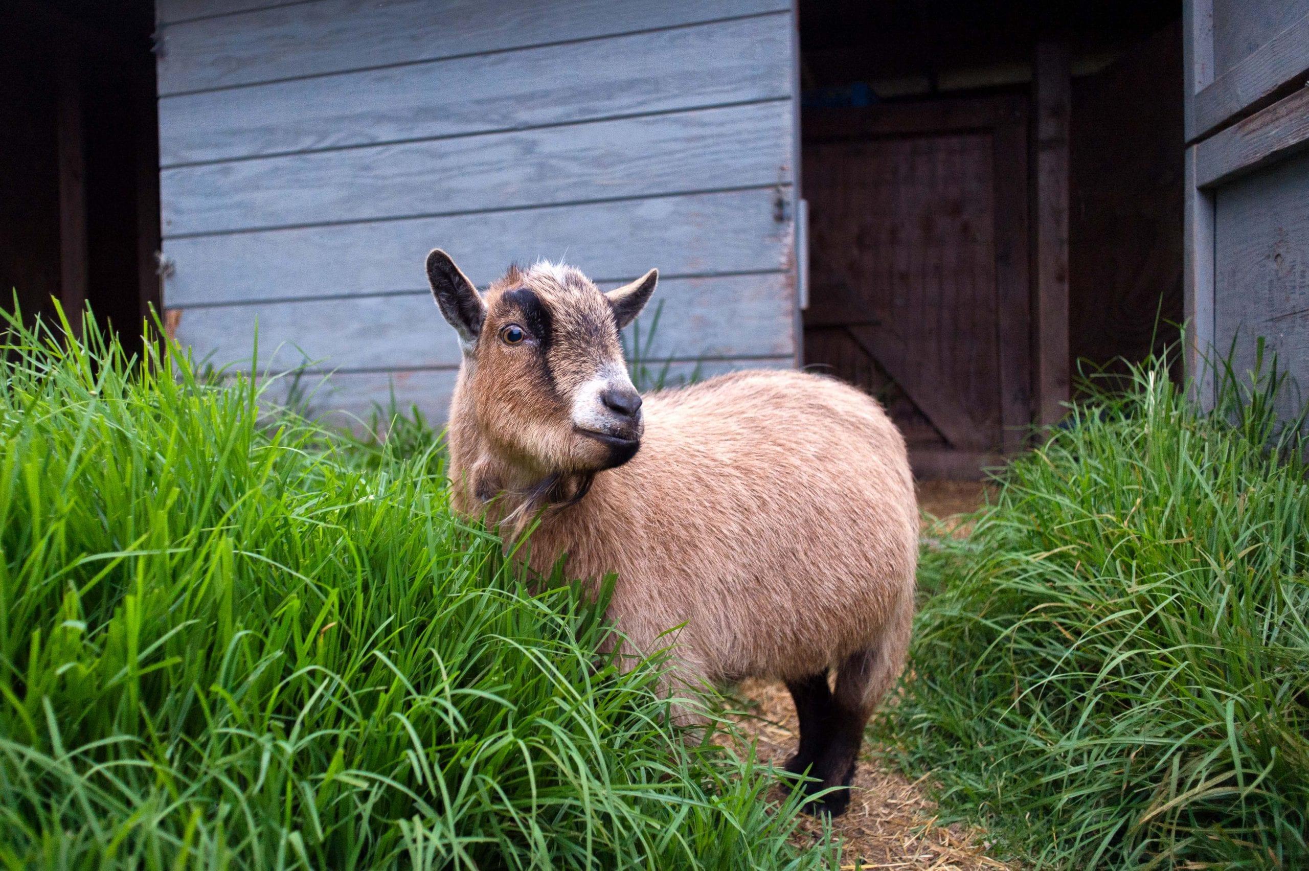 Billy goat, pygmy goat. Same idea. Cubs must lose. Photo by Steve Hymon.